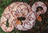 copperhhead