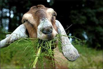 goat_eating
