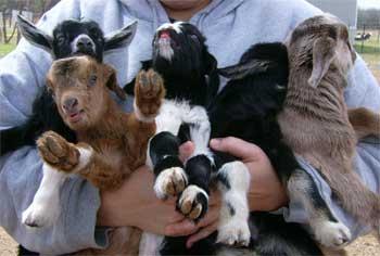 goats_calves