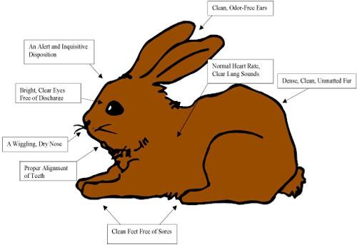 healthy_rabbit