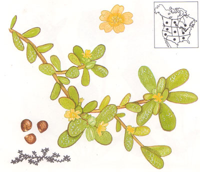 More Urban & Rural Foraging; The Versatile Purslane