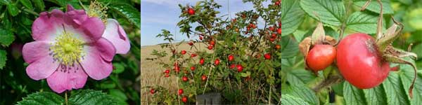 rosehip_strip