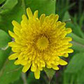 sow_thistle